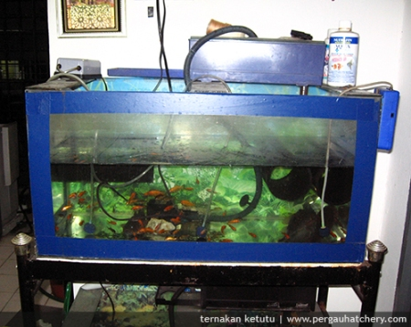 ketutu-tangki-aquarium.jpg